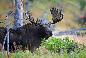 moose-300x203